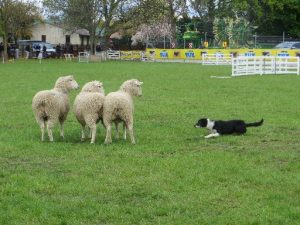 Scarfie, the collie eye dog of Amberley trialist Peter Lankow, has the attention of three sheep during a yard event at the trials at the Ashburton Show